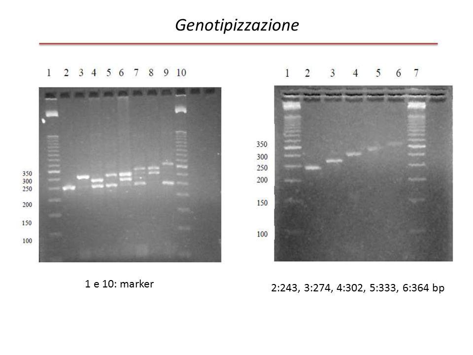 Genotipizzazione 1 e 10: marker 2:243, 3:274, 4:302, 5:333, 6:364 bp