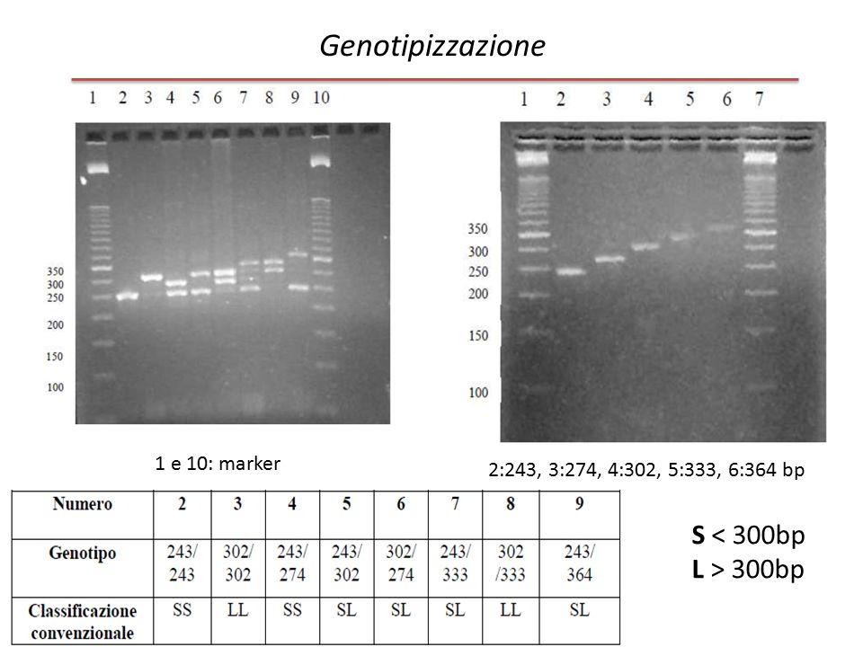 Genotipizzazione 1 e 10: marker S < 300bp L > 300bp 2:243, 3:274, 4:302, 5:333, 6:364 bp