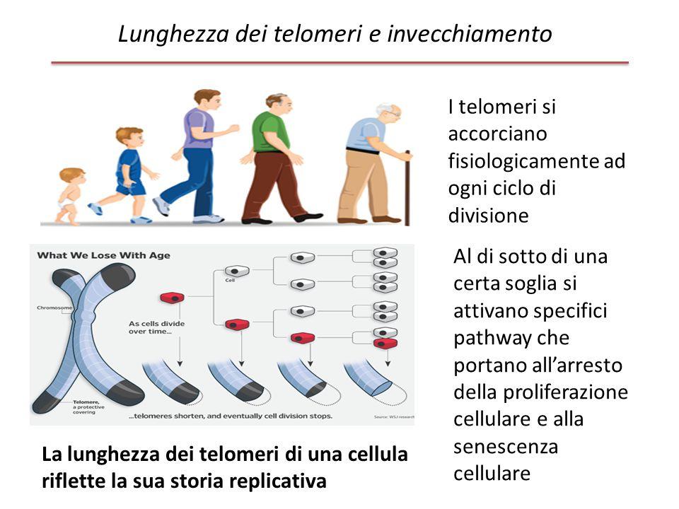 Lunghezza dei telomeri e invecchiamento I telomeri si accorciano fisiologicamente ad ogni ciclo di divisione La lunghezza dei telomeri di una cellula
