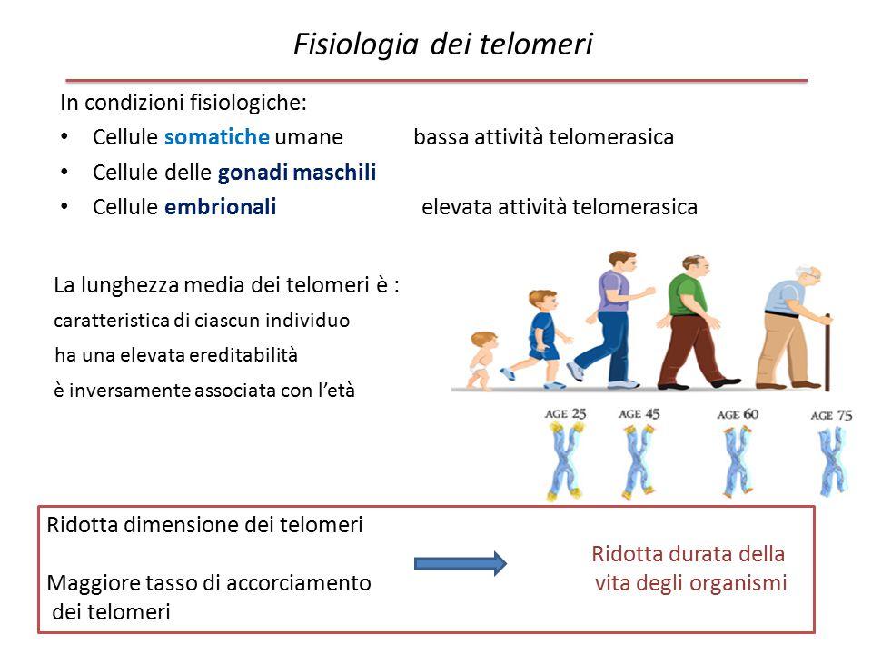 In condizioni fisiologiche: Cellule somatiche umane bassa attività telomerasica Cellule delle gonadi maschili Cellule embrionali elevata attività telo