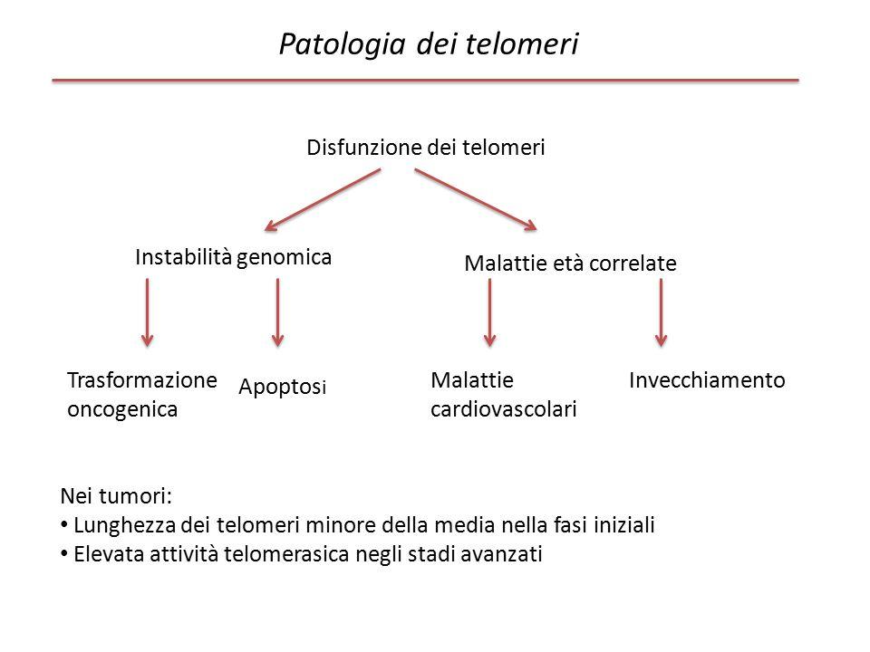 Patologia dei telomeri Disfunzione dei telomeri Instabilità genomica Trasformazione oncogenica Apoptos i Malattie età correlate Malattie cardiovascola