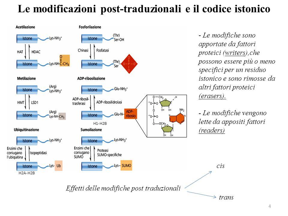 4 Le modificazioni post-traduzionali e il codice istonico - Le modifiche sono apportate da fattori proteici (writers),che possono essere più o meno sp