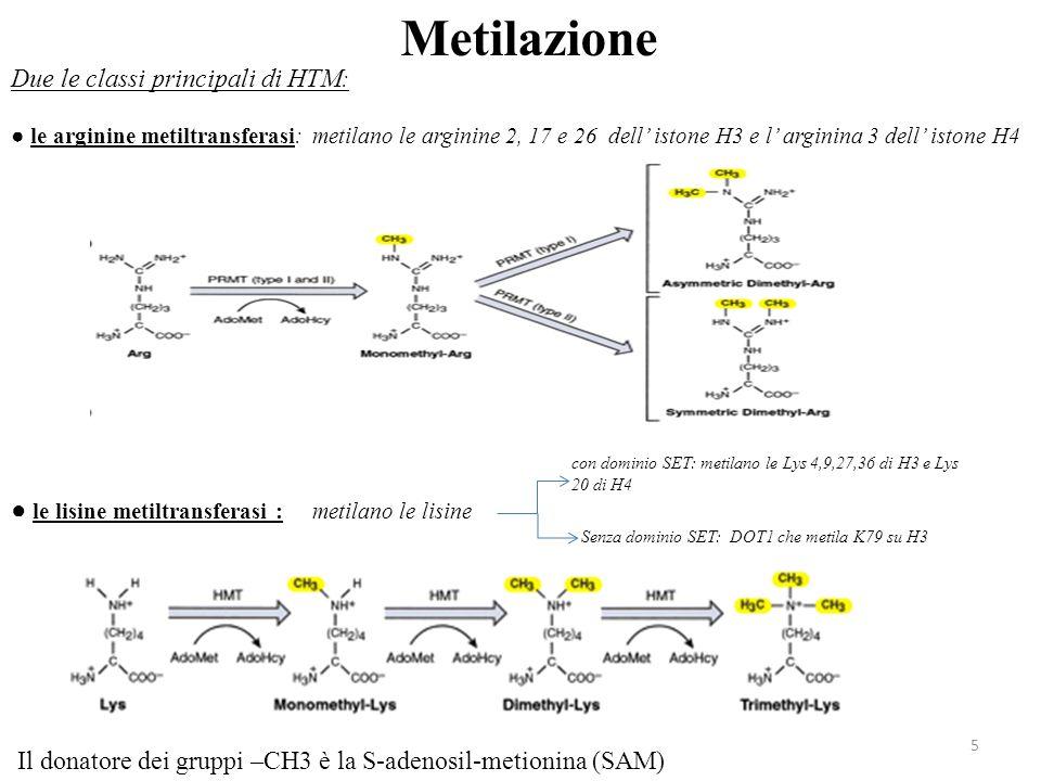 5 Metilazione Due le classi principali di HTM : ● le arginine metiltransferasi: metilano le arginine 2, 17 e 26 dell' istone H3 e l' arginina 3 dell'