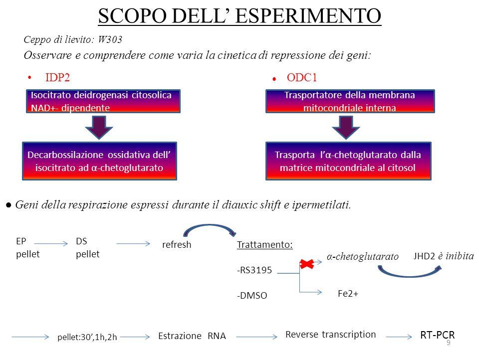 SCOPO DELL' ESPERIMENTO IDP2 ● ODC1 9 Osservare e comprendere come varia la cinetica di repressione dei geni: Isocitrato deidrogenasi citosolica NAD+-
