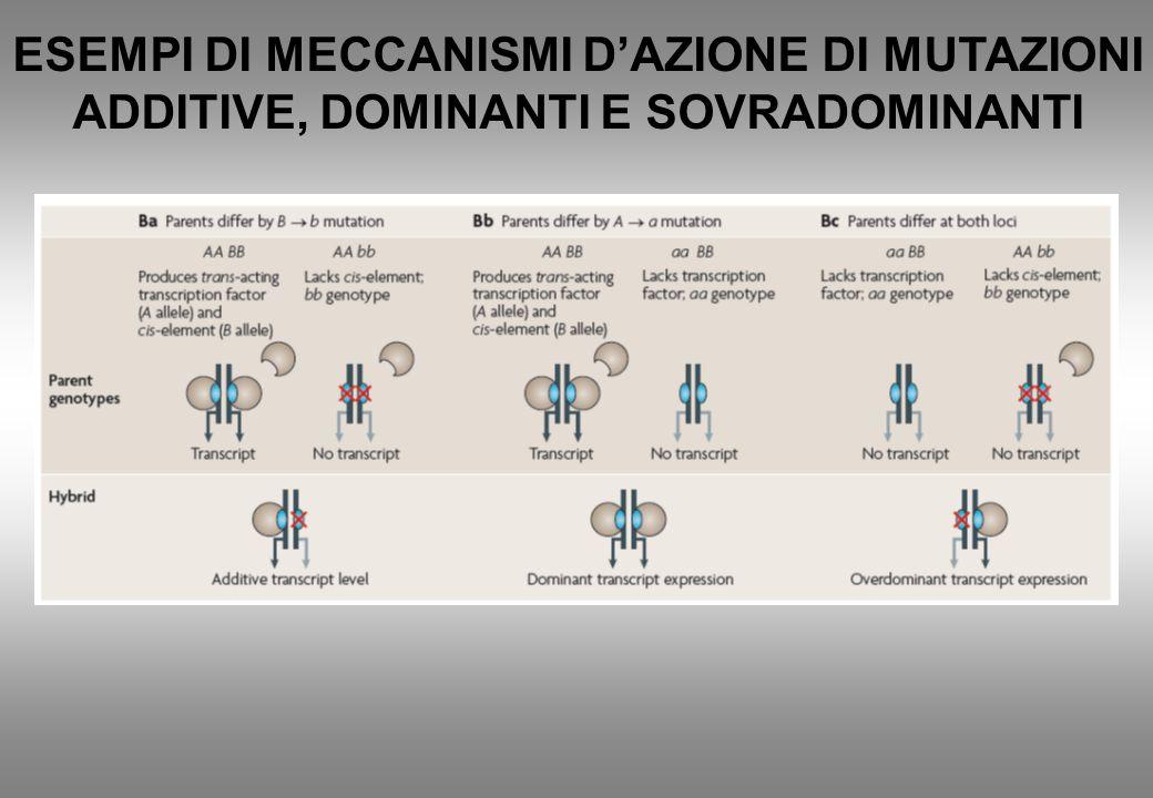 ESEMPI DI MECCANISMI D'AZIONE DI MUTAZIONI ADDITIVE, DOMINANTI E SOVRADOMINANTI