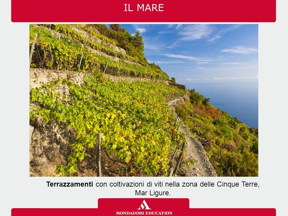 Terrazzamenti con coltivazioni di viti nella zona delle Cinque Terre, Mar Ligure. IL MARE