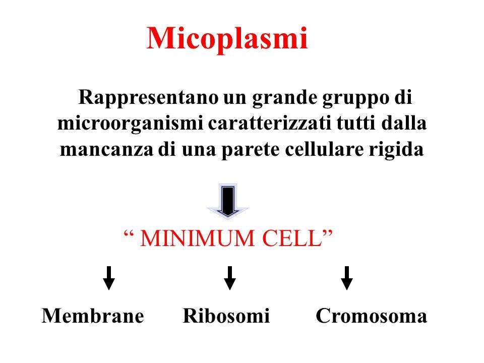 """Micoplasmi Rappresentano un grande gruppo di microorganismi caratterizzati tutti dalla mancanza di una parete cellulare rigida """" MINIMUM CELL"""" Membran"""