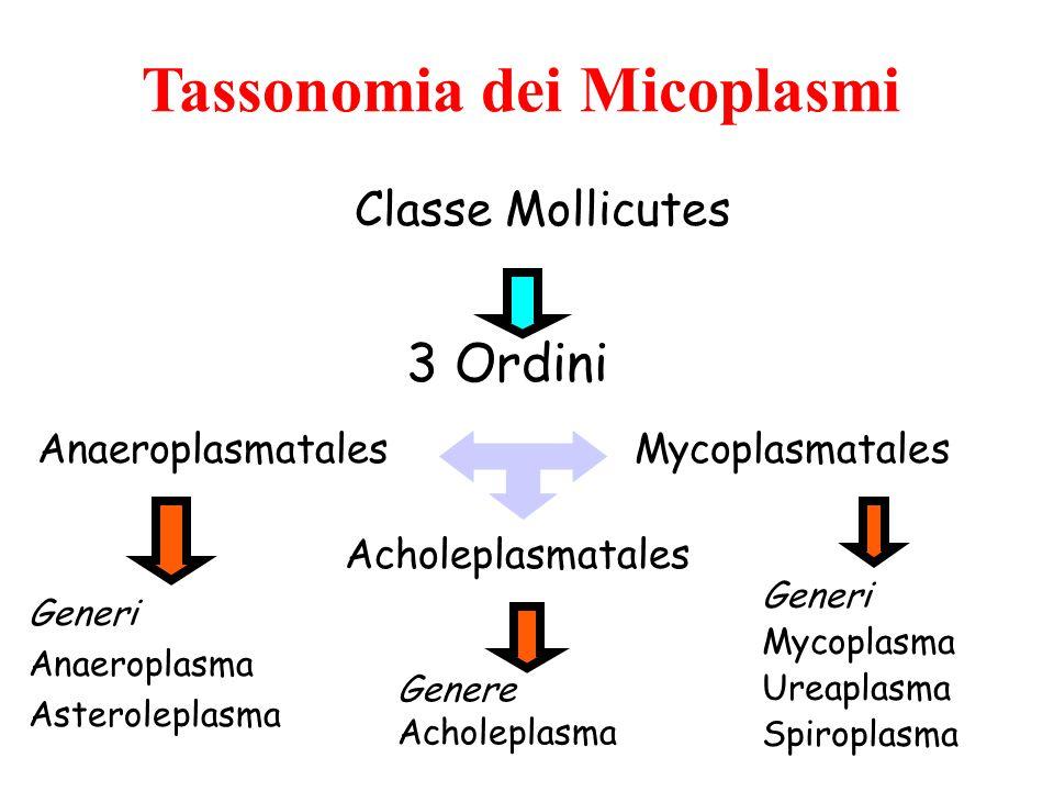 Tassonomia dei Micoplasmi Classe Mollicutes 3 Ordini Mycoplasmatales Acholeplasmatales Anaeroplasmatales Generi Anaeroplasma Asteroleplasma Genere Ach