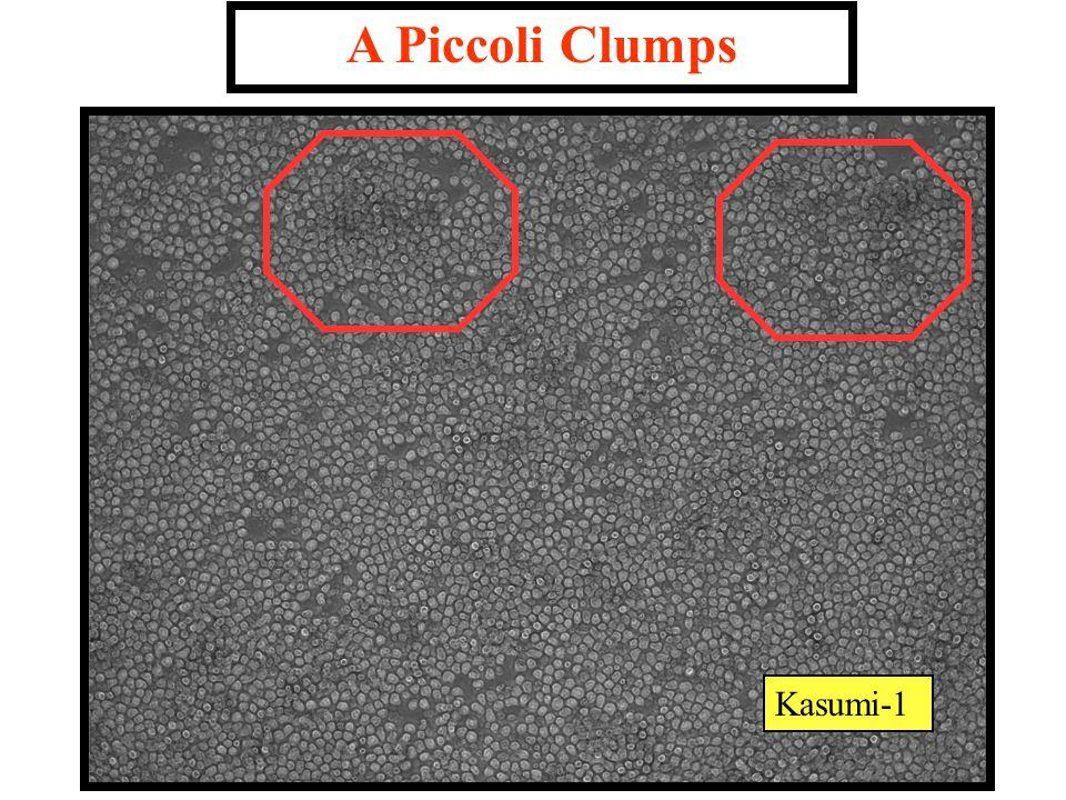 Kasumi-1 A Piccoli Clumps