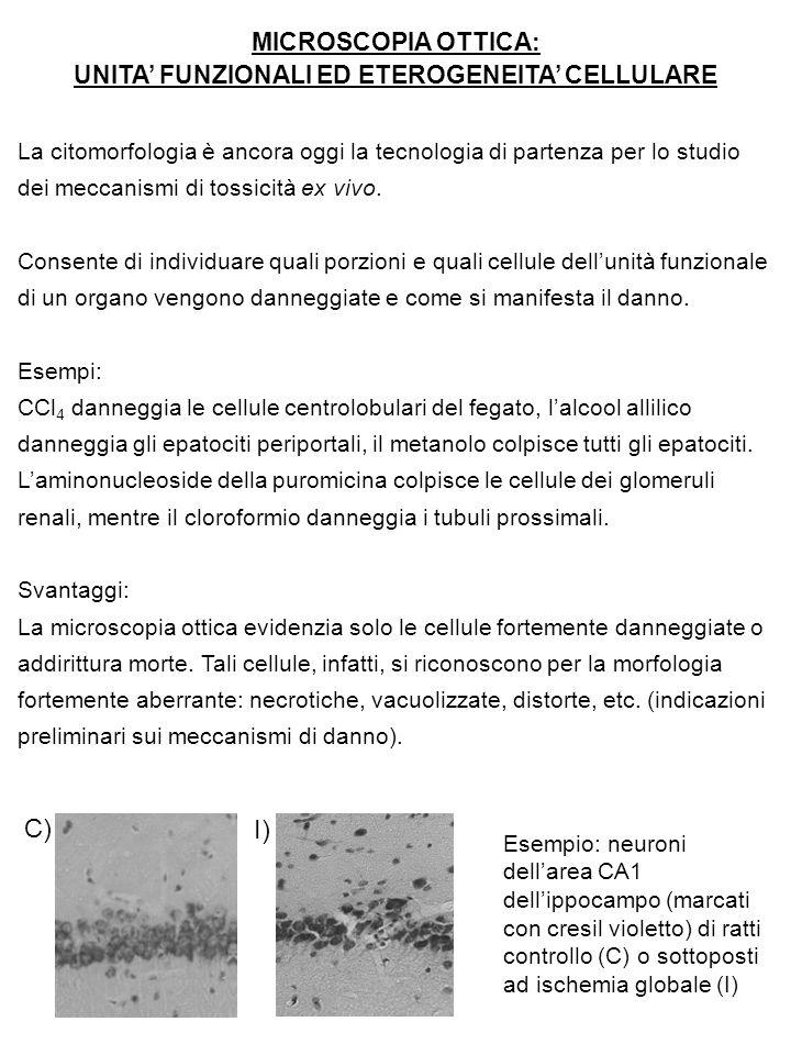 MICROSCOPIA OTTICA: UNITA' FUNZIONALI ED ETEROGENEITA' CELLULARE La citomorfologia è ancora oggi la tecnologia di partenza per lo studio dei meccanism
