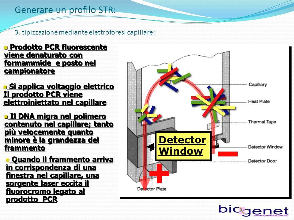 Prodotto PCR fluorescente viene denaturato con formammide e posto nel campionatore Prodotto PCR fluorescente viene denaturato con formammide e posto nel campionatore Si applica voltaggio elettrico Il prodotto PCR viene elettroiniettato nel capillare Si applica voltaggio elettrico Il prodotto PCR viene elettroiniettato nel capillare Quando il frammento arriva in corrispondenza di una finestra nel capillare, una sorgente laser eccita il fluorocromo legato al prodotto PCR Quando il frammento arriva in corrispondenza di una finestra nel capillare, una sorgente laser eccita il fluorocromo legato al prodotto PCR Detector Window Generare un profilo STR: 3.