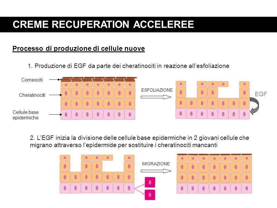 CREME RECUPERATION ACCELEREE 1. Produzione di EGF da parte dei cheratinociti in reazione all'esfoliazione 2. L'EGF inizia la divisione delle cellule b