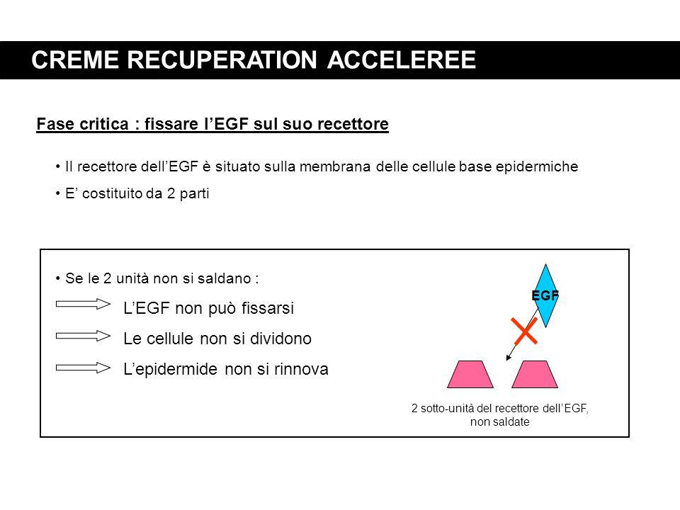 CREME RECUPERATION ACCELEREE Fase critica : fissare l'EGF sul suo recettore Il recettore dell'EGF è situato sulla membrana delle cellule base epidermi