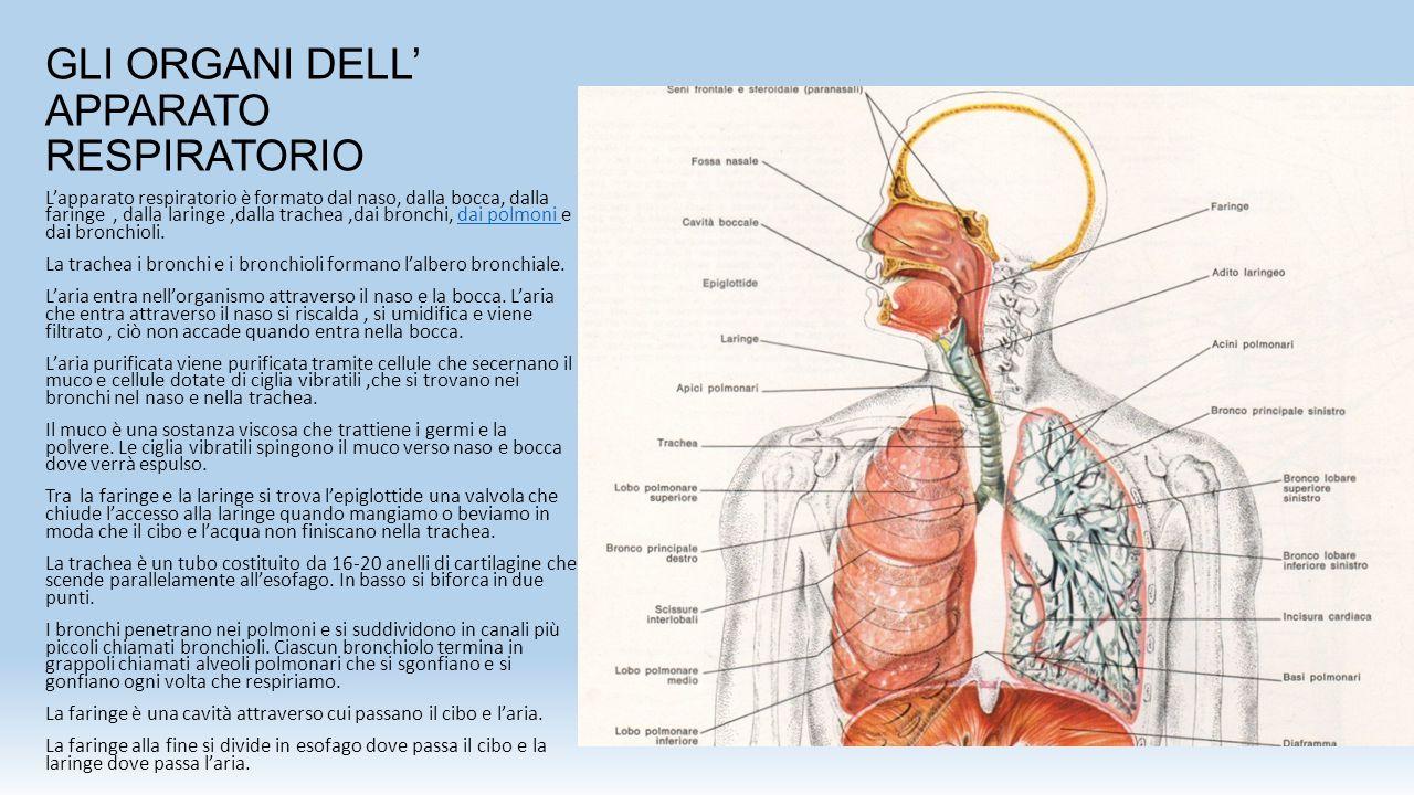 GLI ORGANI DELL' APPARATO RESPIRATORIO L'apparato respiratorio è formato dal naso, dalla bocca, dalla faringe, dalla laringe,dalla trachea,dai bronchi, dai polmoni e dai bronchioli.dai polmoni La trachea i bronchi e i bronchioli formano l'albero bronchiale.