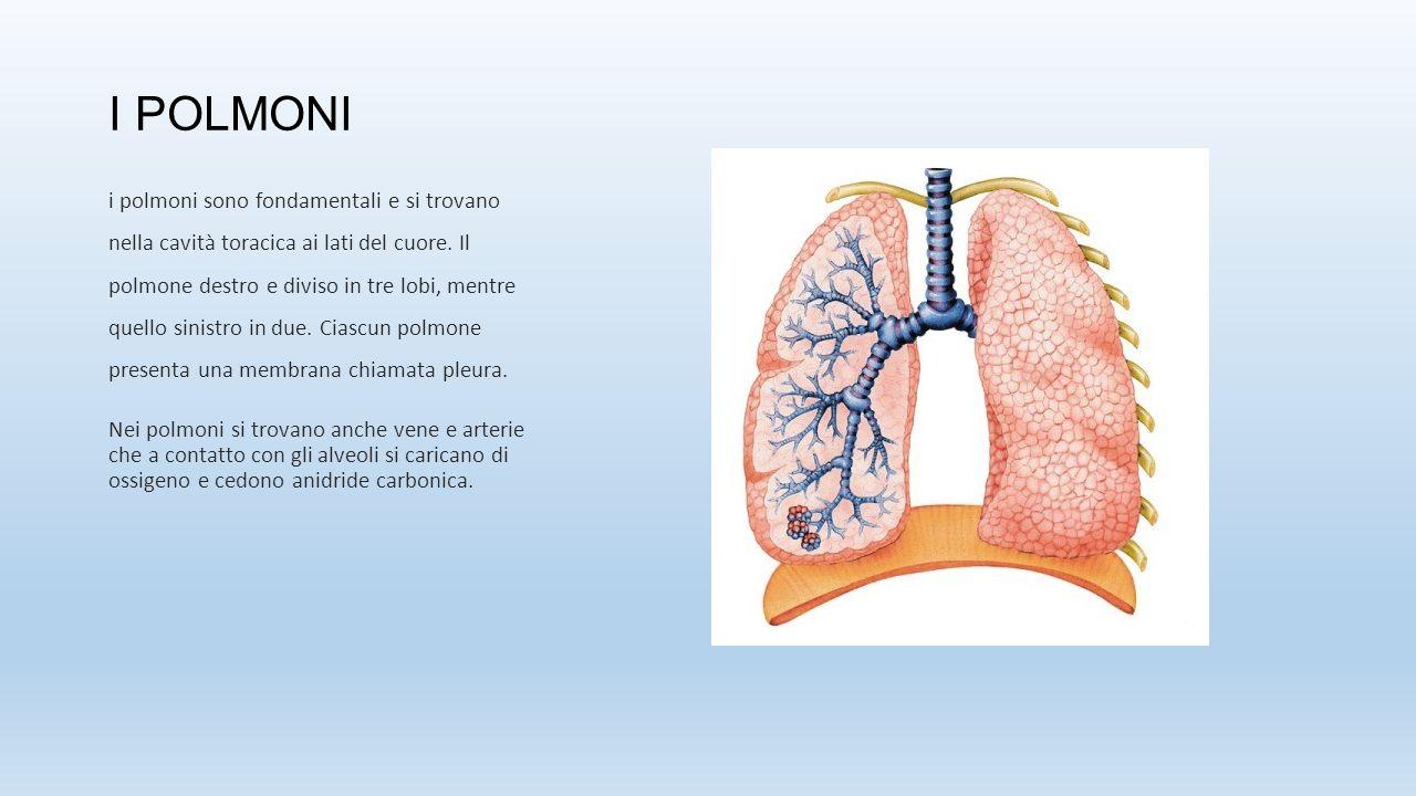 I POLMONI i polmoni sono fondamentali e si trovano nella cavità toracica ai lati del cuore. Il polmone destro e diviso in tre lobi, mentre quello sini