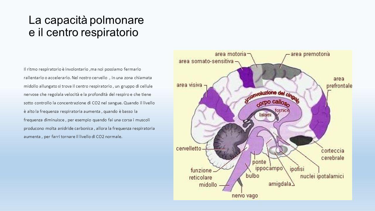 LA RESPIRAZIONE POLMONARE Nel nostro corpo avvengono due respirazioni: respirazione polmonare, che avviene nei polmoni; respirazione cellulare respirazione cellulare, che avviene in ogni cellula del nostro corpo.