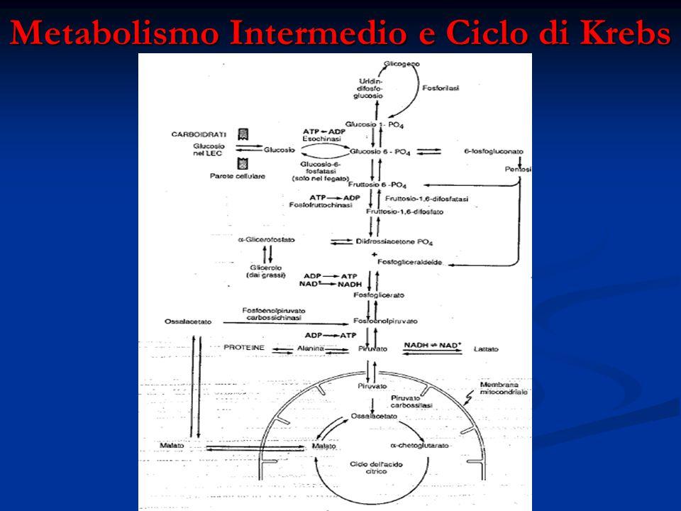 Metabolismo Intermedio e Ciclo di Krebs Fonte:Fisiologia Medica (Ganong)