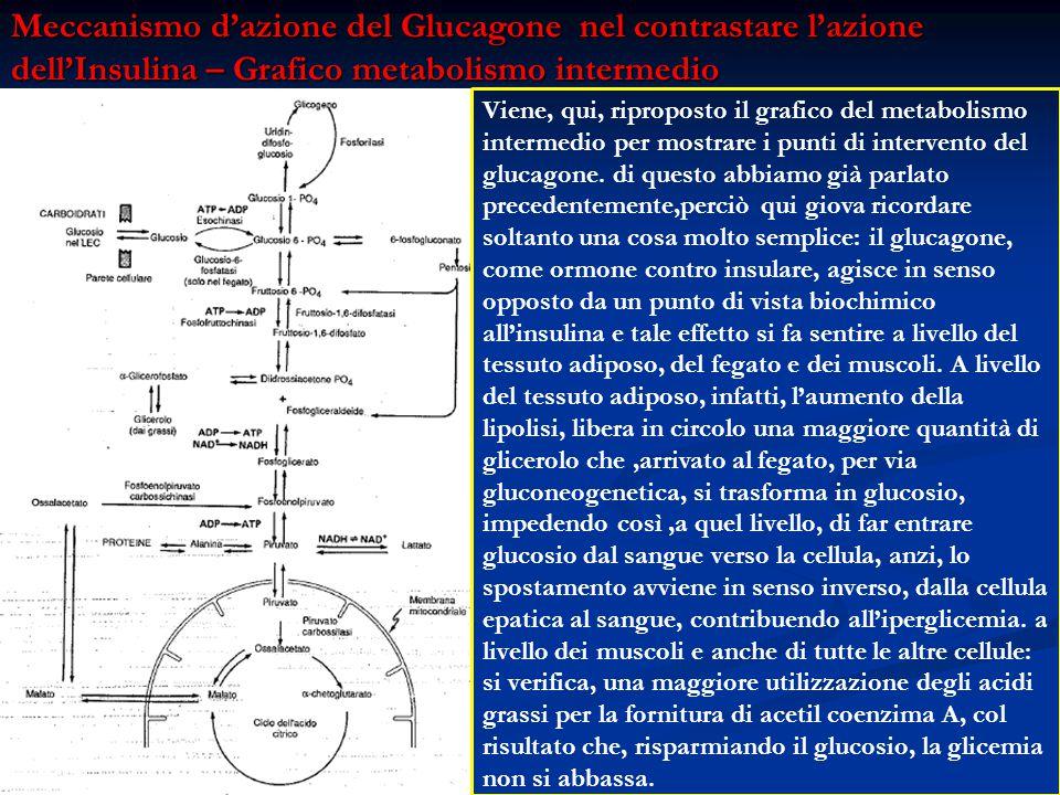 Viene, qui, riproposto il grafico del metabolismo intermedio per mostrare i punti di intervento del glucagone. di questo abbiamo già parlato precedent