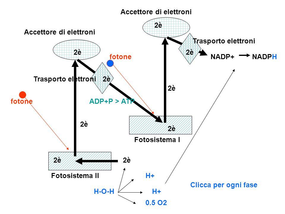 H-O-H H+ 0.5 O2 NADP+NADPH 2è ADP+P > ATP Fotosistema II Fotosistema I fotone Accettore di elettroni Trasporto elettroni 2è Clicca per ogni fase