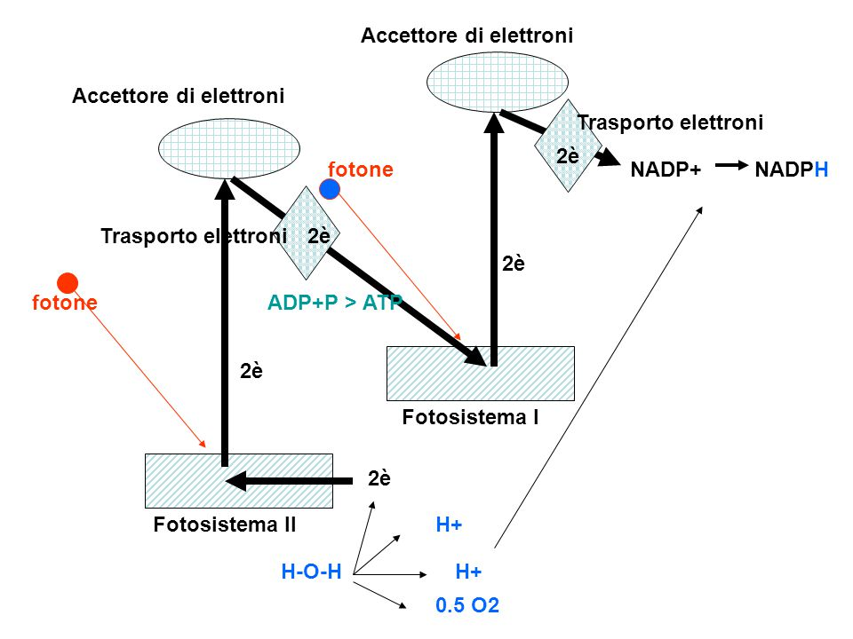 1 fotone colpisce pigmenti fotosistema II ed espelle 2 elettroni due elettroni vengono catturati da accettore di elettroni l'accettore di elettroni trasferisce due elettroni mediante una catena trasportatrice di elettroni e permette la sintesi di ATP da ADP e P 1 fotone colpisce pigmenti fotosistema I ed espelle 2 elettroni due elettroni vengono catturati da un accettore di elettroni l'accettore di elettroni trasferisce i due elettroni al NAFP+ che diventa NADP- l'aqua per fotolisi libera ossigeno,due idrogenioni e due elettroni l'ossigeno viene liberato nella atmosfera 1 H+ rimane in soluzione 1 H+ viene catturato dal NADP- e viene prodotto NADPH 1 due elettroni passano nel fotosistema II e sostituiscono i due elettroni entrato in circolazione