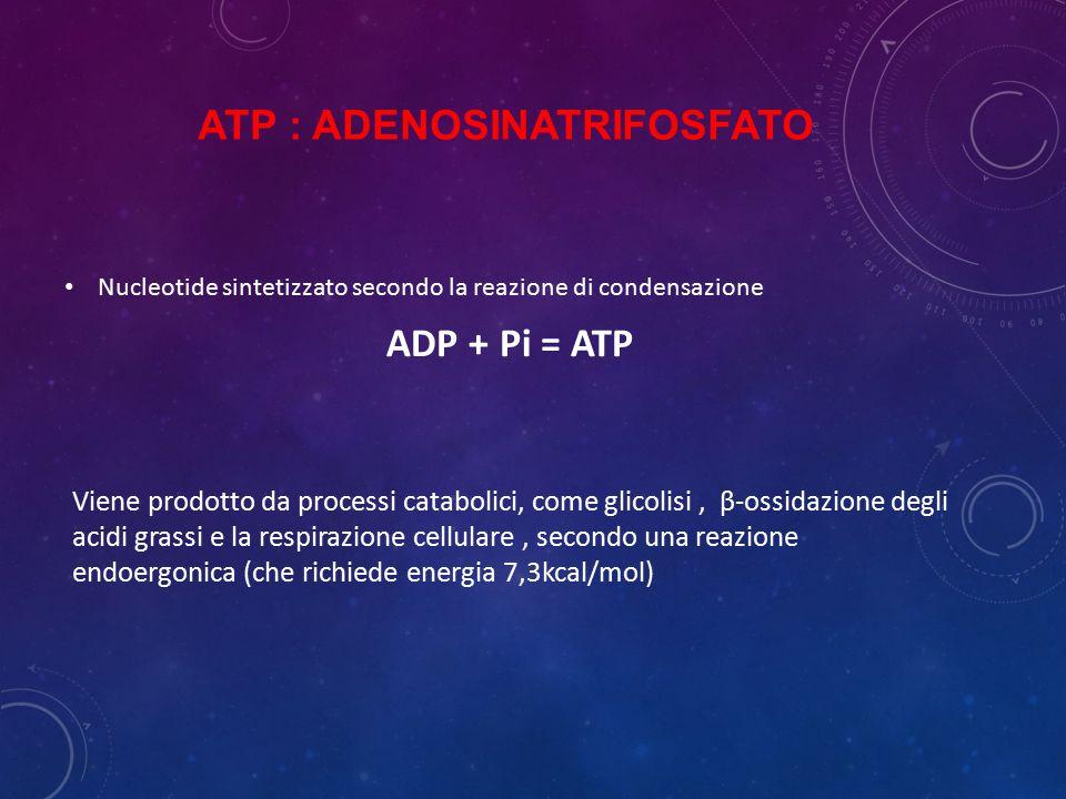 ATP : ADENOSINATRIFOSFATO Nucleotide sintetizzato secondo la reazione di condensazione ADP + Pi = ATP Viene prodotto da processi catabolici, come glic