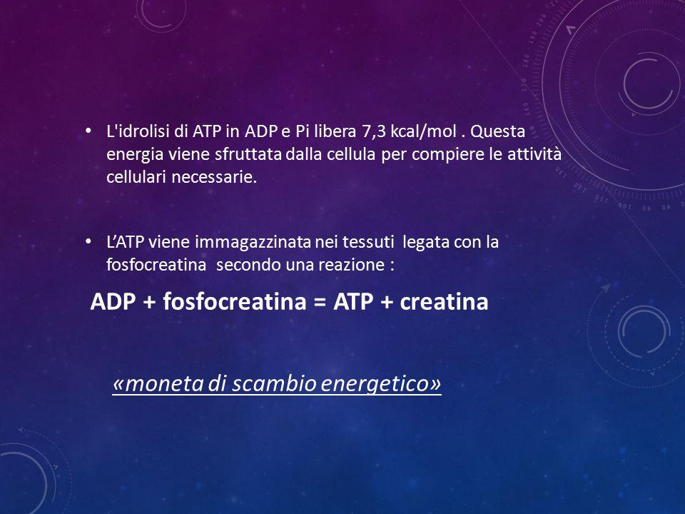 L'idrolisi di ATP in ADP e Pi libera 7,3 kcal/mol. Questa energia viene sfruttata dalla cellula per compiere le attività cellulari necessarie. L'ATP v