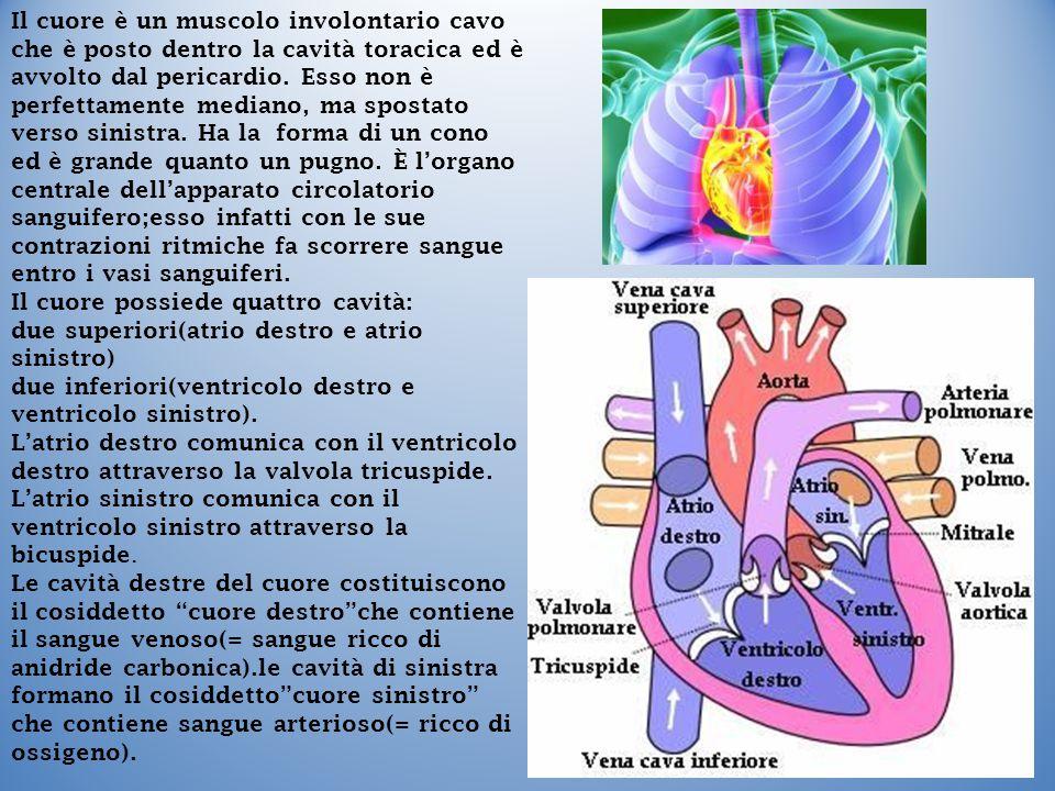 Il cuore è un muscolo involontario cavo che è posto dentro la cavità toracica ed è avvolto dal pericardio. Esso non è perfettamente mediano, ma sposta