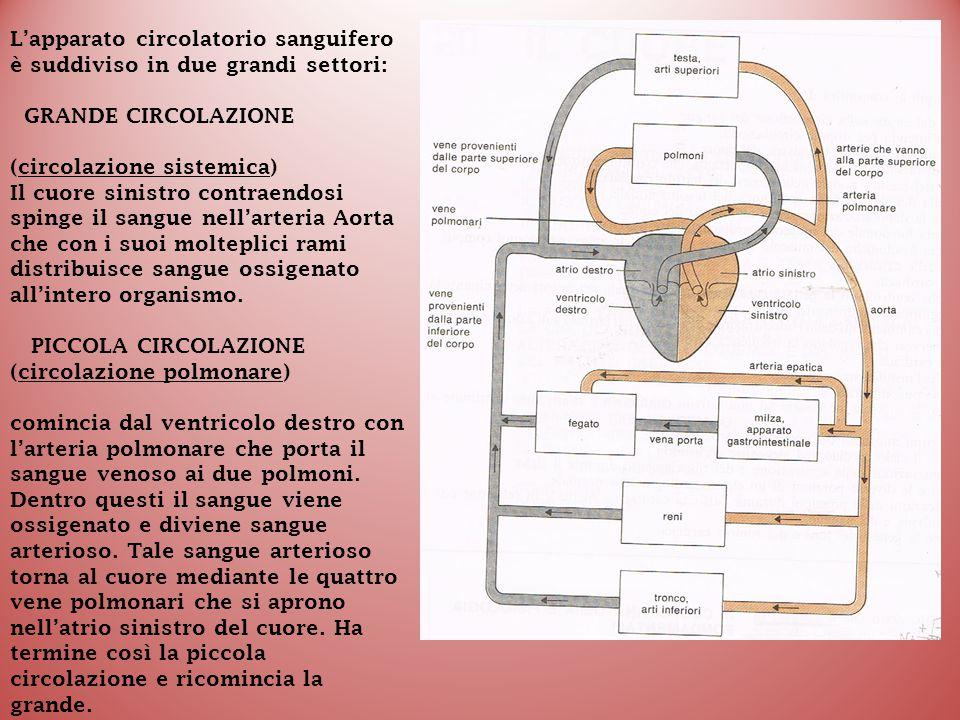 L'apparato circolatorio sanguifero è suddiviso in due grandi settori: GRANDE CIRCOLAZIONE (circolazione sistemica) Il cuore sinistro contraendosi spin