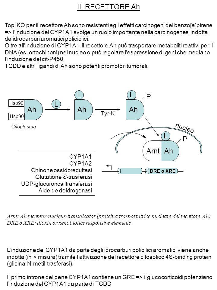 IL RECETTORE Ah Topi KO per il recettore Ah sono resistenti agli effetti carcinogeni del benzo[a]pirene => l'induzione del CYP1A1 svolge un ruolo impo