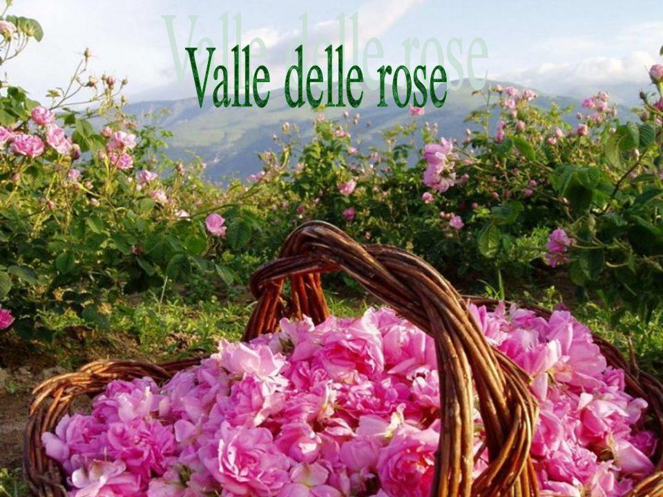 La Valle delle rose è una regione della Bulgaria situata in un'area stretta e lunga collocata fra le catene montuose parallele dei Balcani ed Antibalcani e composta dalle vallate adiacenti dei fiumi Strjama ad ovest e Tundža ad est.