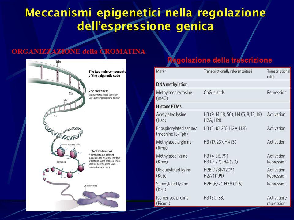 Regolazione della trascrizione Meccanismi epigenetici nella regolazione dell'espressione genica ORGANIZZAZIONE della CROMATINA