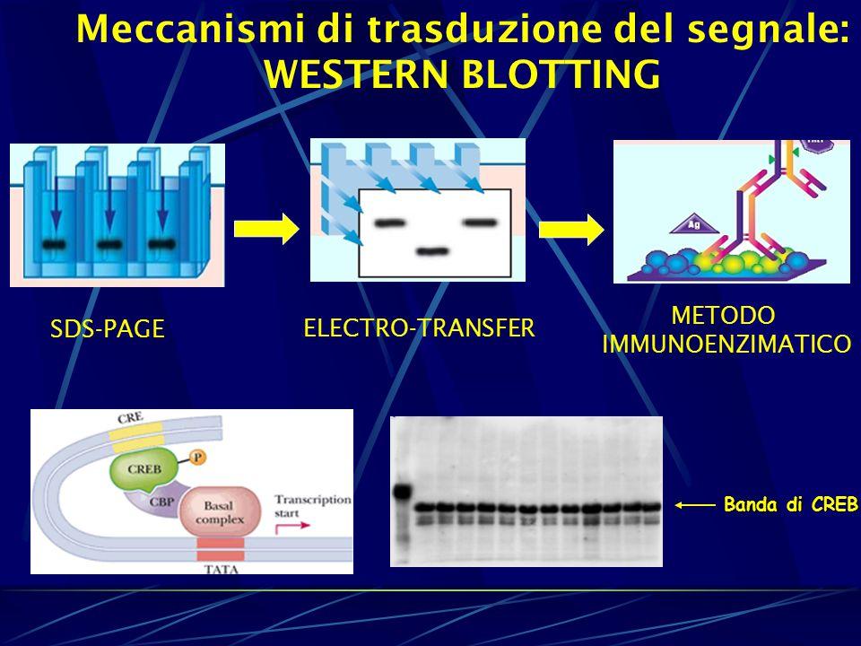 Meccanismi di trasduzione del segnale: WESTERN BLOTTING Banda di CREB SDS-PAGE ELECTRO-TRANSFER METODO IMMUNOENZIMATICO