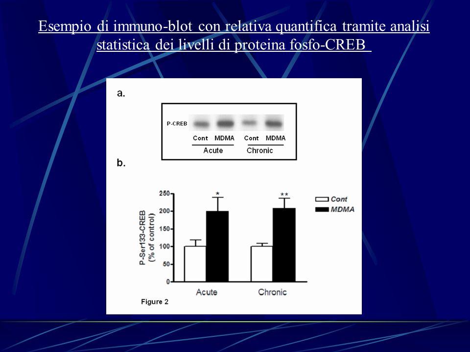 Esempio di immuno-blot con relativa quantifica tramite analisi statistica dei livelli di proteina fosfo-CREB