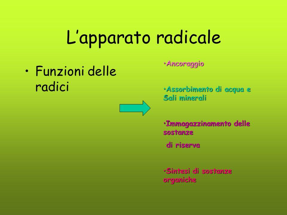 L'apparato radicale Funzioni delle radici AncoraggioAncoraggio Assorbimento di acqua e Sali mineraliAssorbimento di acqua e Sali minerali Immagazzinam
