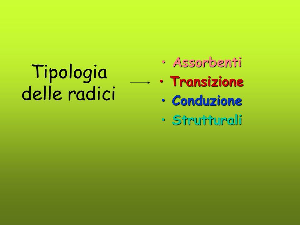Tipologia delle radici AssorbentiAssorbenti TransizioneTransizione ConduzioneConduzione StrutturaliStrutturali