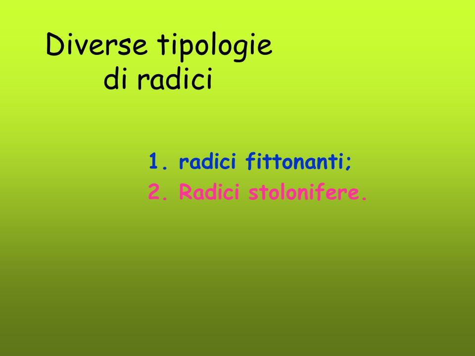 Diverse tipologie di radici 1.radici fittonanti; 2.Radici stolonifere.