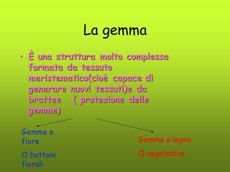 La gemma È una struttura molto complessa formata da tessuto meristematico(cioè capace di generare nuovi tessuti)e da brattee ( protezione delle gemme)