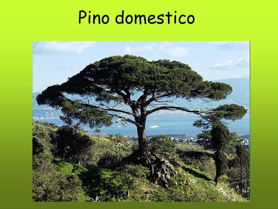 Pino domestico