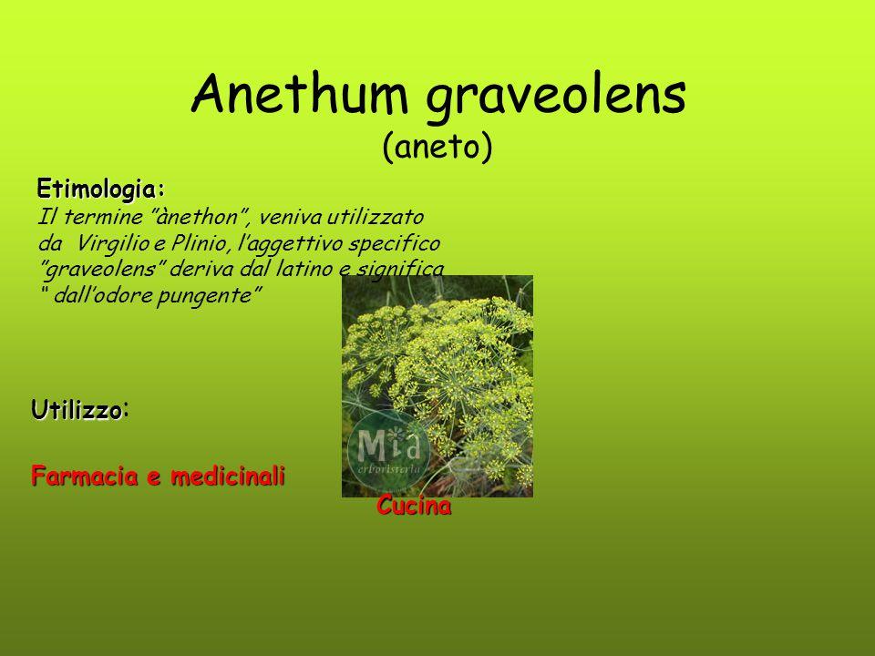 """Anethum graveolens (aneto) Utilizzo Utilizzo : Farmacia e medicinali Cucina Cucina Etimologia: Il termine """"ànethon"""", veniva utilizzato da Virgilio e P"""