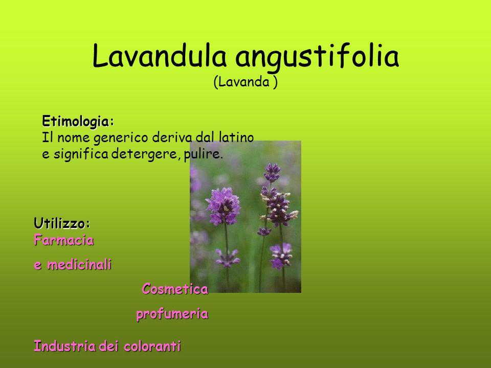 Lavandula angustifolia (Lavanda ) Utilizzo:Farmacia e medicinali Cosmetica Cosmeticaprofumeria Industriadei coloranti Industria dei coloranti Etimolog