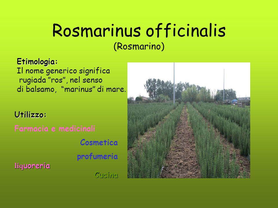 """Rosmarinus officinalis (Rosmarino) Etimologia: Il nome generico significa rugiada """"ros"""", nel senso di balsamo, """"marinus"""" di mare. Utilizzo: Farmacia e"""