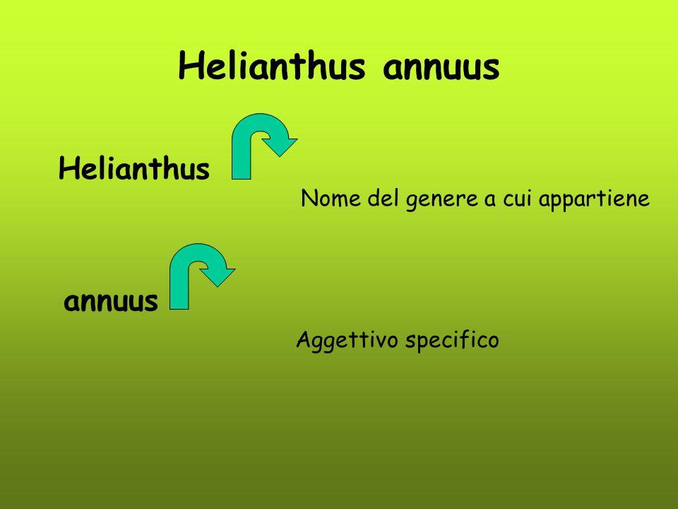 Helianthus annuus Helianthus Nome del genere a cui appartiene annuus Aggettivo specifico