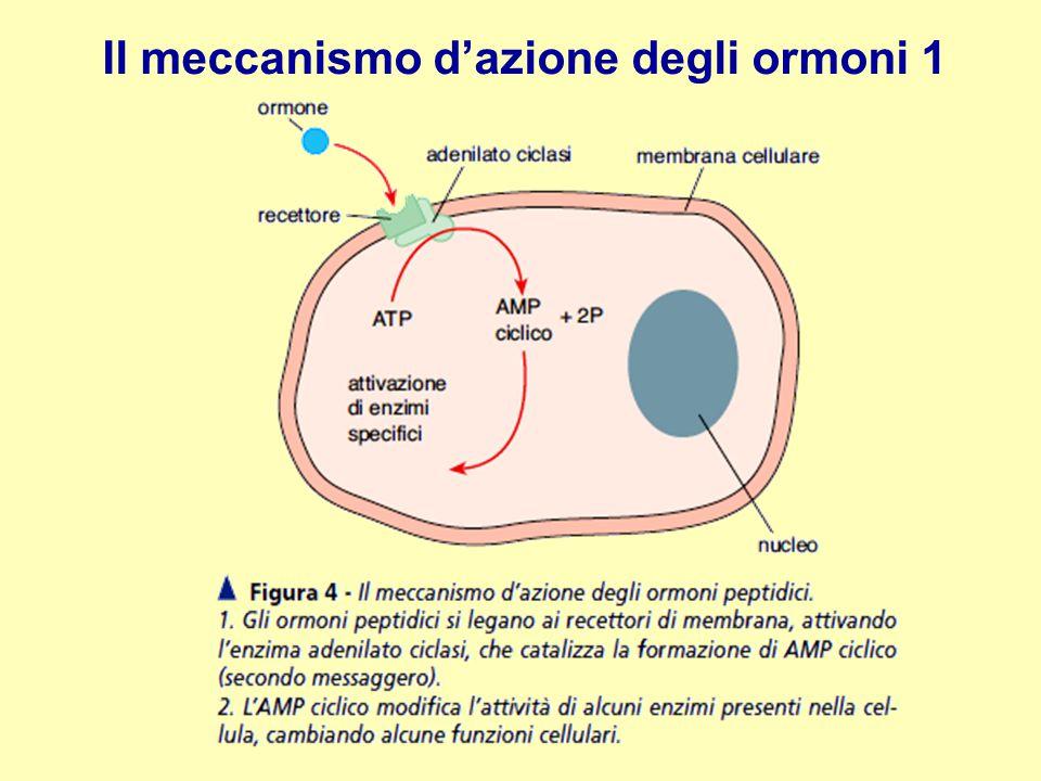 Il meccanismo d'azione degli ormoni 1