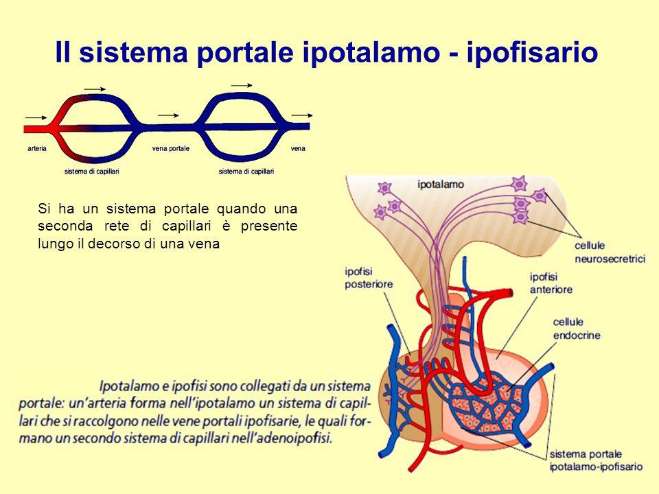 Il sistema portale ipotalamo - ipofisario Si ha un sistema portale quando una seconda rete di capillari è presente lungo il decorso di una vena