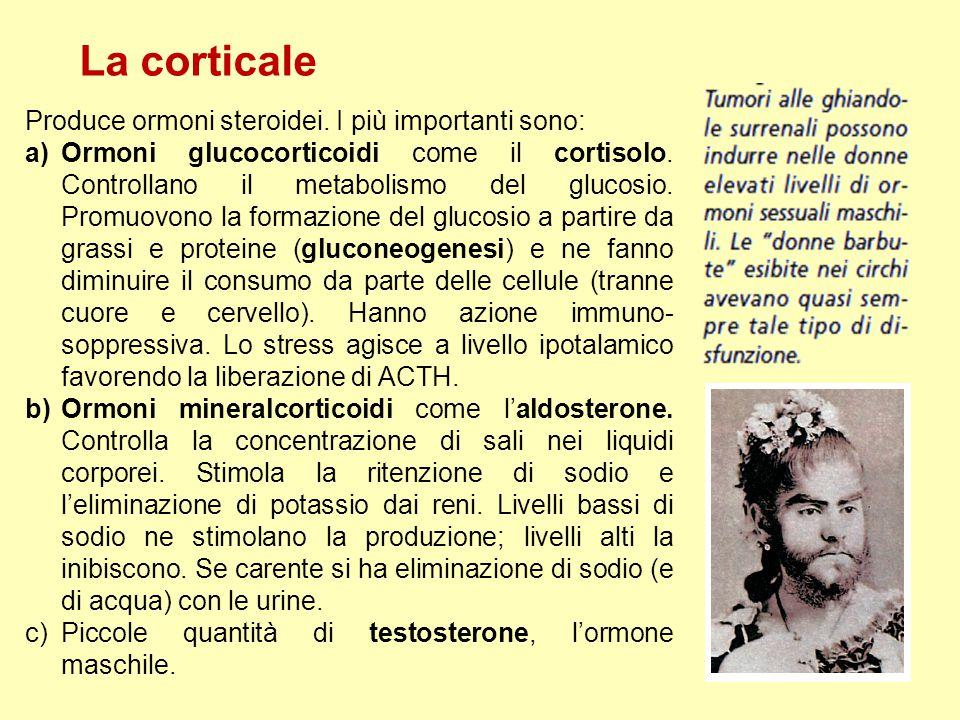 La corticale Produce ormoni steroidei. I più importanti sono: a)Ormoni glucocorticoidi come il cortisolo. Controllano il metabolismo del glucosio. Pro