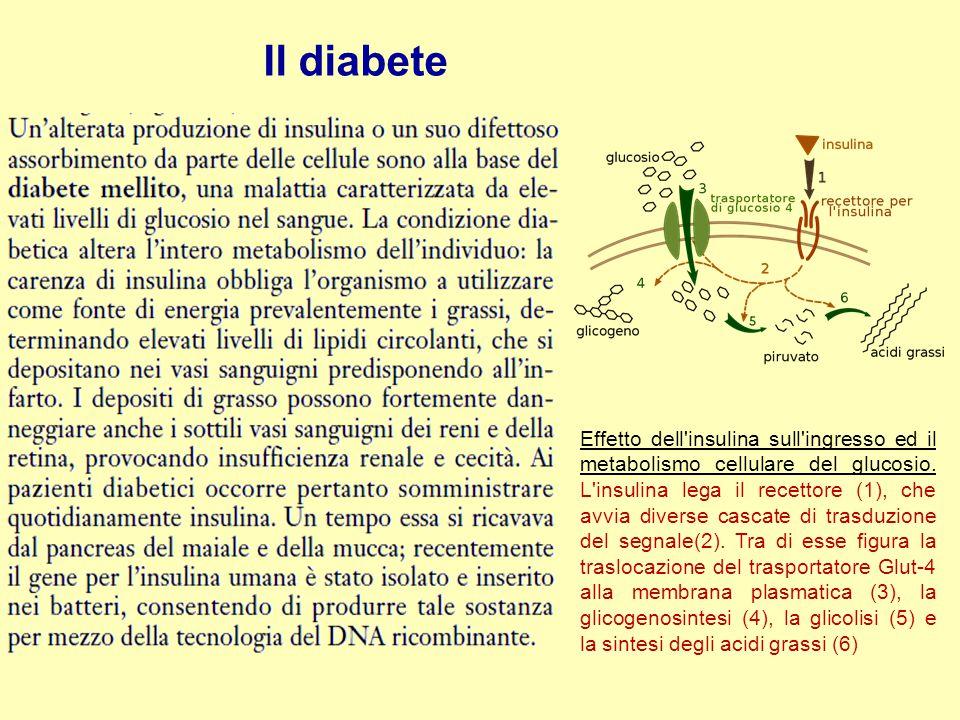 Il diabete Effetto dell'insulina sull'ingresso ed il metabolismo cellulare del glucosio. L'insulina lega il recettore (1), che avvia diverse cascate d