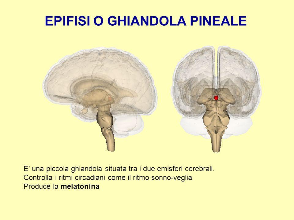 EPIFISI O GHIANDOLA PINEALE E' una piccola ghiandola situata tra i due emisferi cerebrali. Controlla i ritmi circadiani come il ritmo sonno-veglia Pro