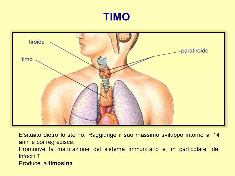TIMO E'situato dietro lo sterno. Raggiunge il suo massimo sviluppo intorno ai 14 anni e poi regredisce. Promuove la maturazione del sistema immunitari
