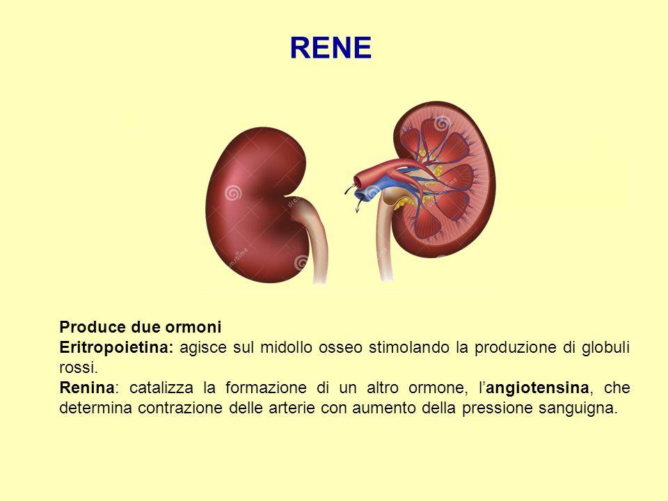 RENE Produce due ormoni Eritropoietina: agisce sul midollo osseo stimolando la produzione di globuli rossi. Renina: catalizza la formazione di un altr