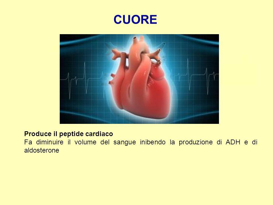 CUORE Produce il peptide cardiaco Fa diminuire il volume del sangue inibendo la produzione di ADH e di aldosterone